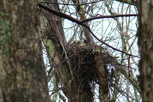 RSHA hawk nest