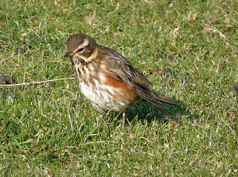 11896 - Redwing from 2010