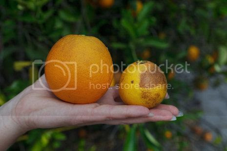 'An orange from a tree infected with citrus greening, right, is stunted compared with a normal orange.'