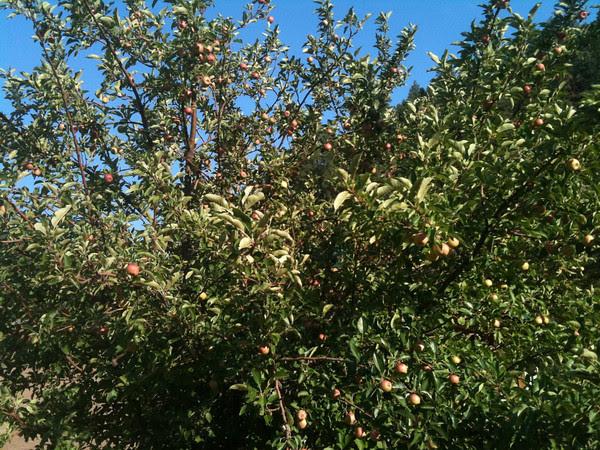 wild Waterton Canyon apples