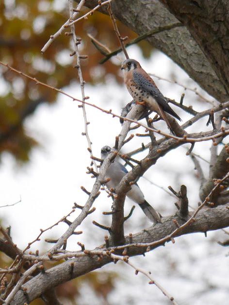 Ed Gaillard: birds &emdash; American Kestrel with Junco prey and mobbing Blue Jay