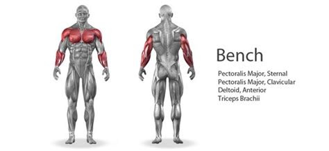 muscle groups  worked   bench press