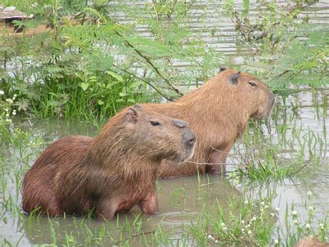 Capybaras, Giant Rodents Native to South America, Could Become Invasive Species in Florida   ABC