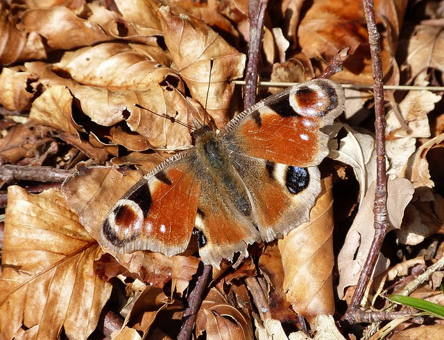 27057 - Peacock Butterfly, Isle of Mull