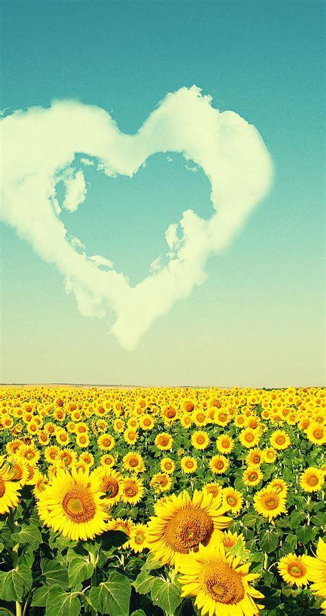 Sunflowers love the sun   HD nature wallpaper