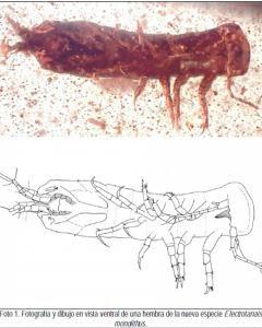Fotografías, facilitadas por el Instituto Geológico y Minero de España, de fósiles de unos crustáceos similares a diminutas gambas con 105 millones de años de antiguedad que un grupo de investigadores españoles ha encontrado en el yacimiento de Pañacerrad