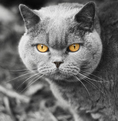 Daisy British Shorthair cat