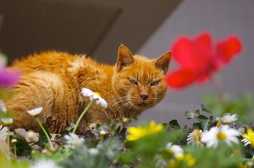 お花畑のやさぐれ猫