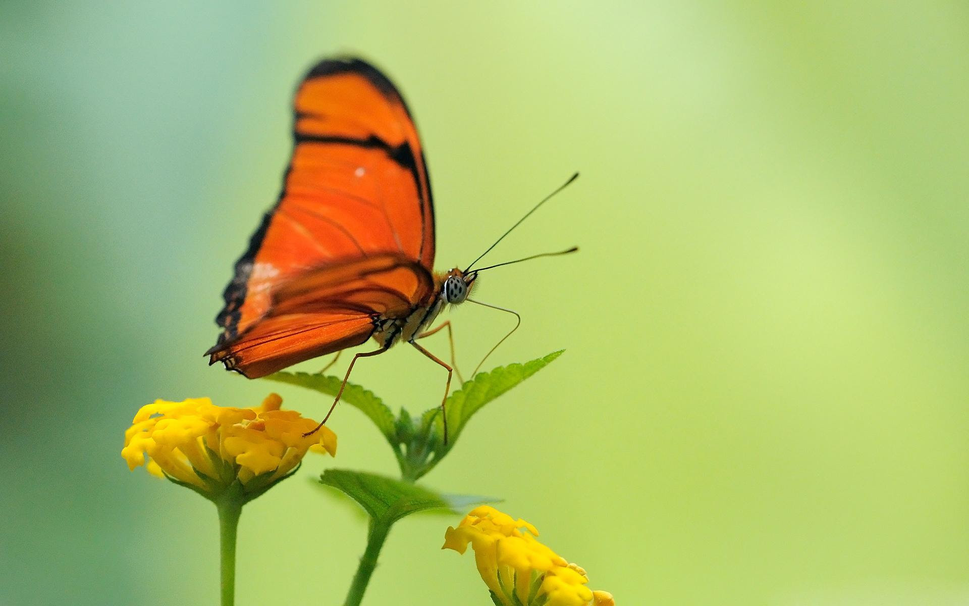 Beautiful Butterfly wallpaper   nature and landscape ...