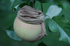 apple in a stocking