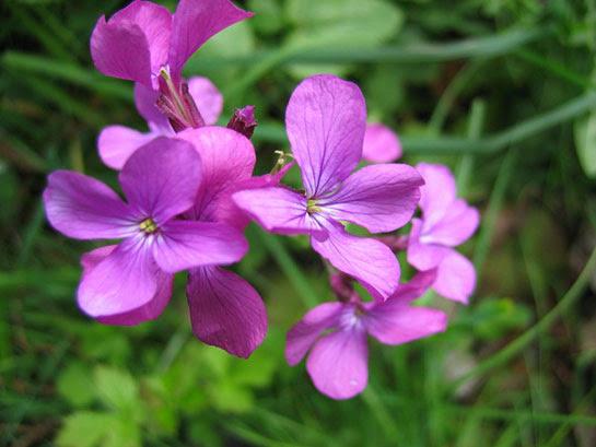 Sedef Çiçeği