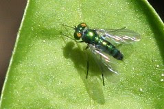 green fly on chili peppers