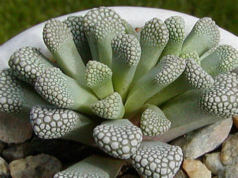 Titanopsis luederitzii   World of Succulents