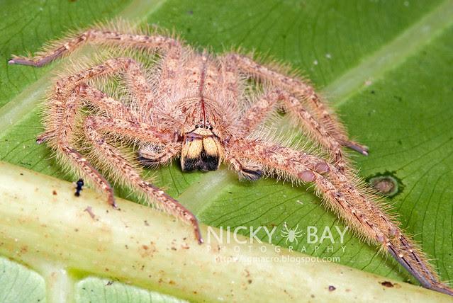 Huntsman Spider (Sparassidae) - DSC_9795
