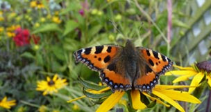 Small Tortoiseshell on Rudbeckia