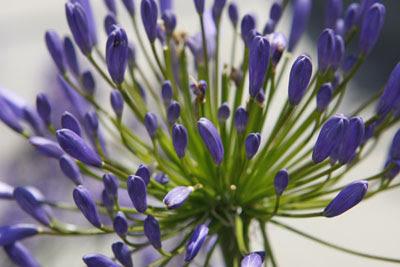Alium @ Hampton Court Flower Show