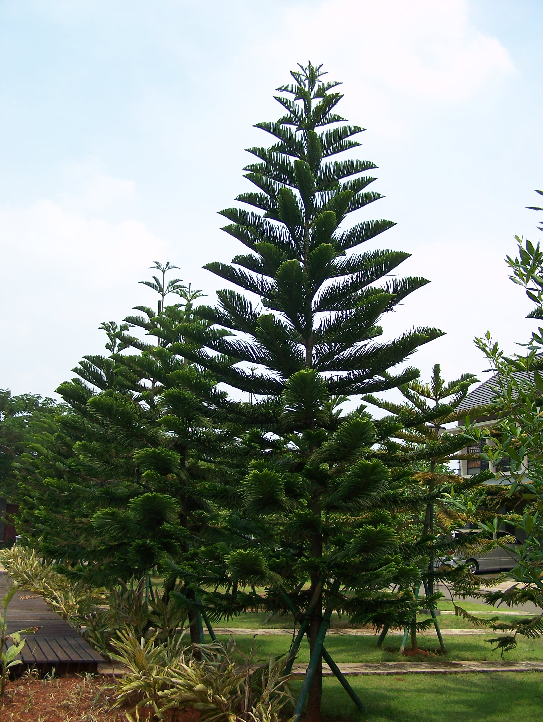 Download 74 Gambar Pohon Cemara Yg Mudah HD Paling Keren