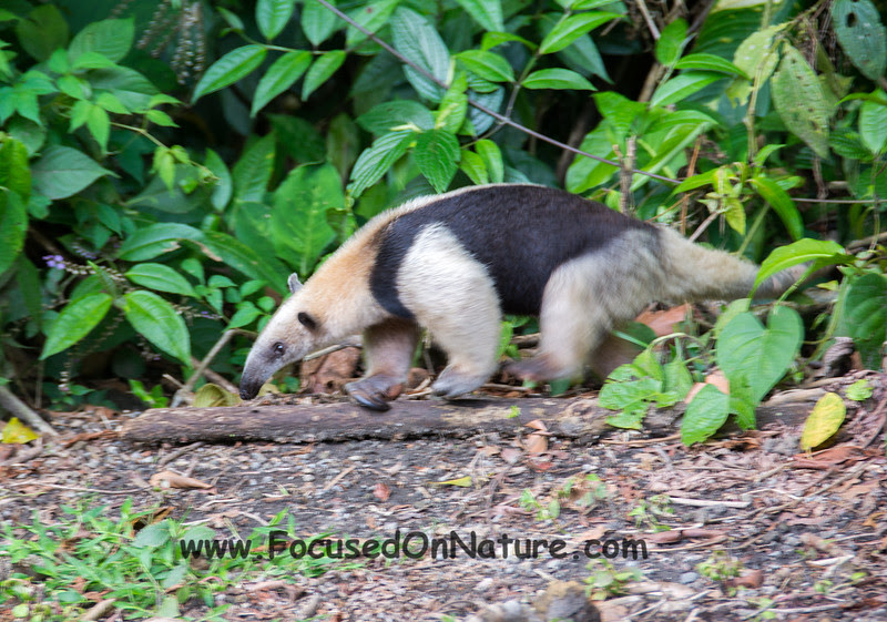 Northern Tamandua (2nd One)
