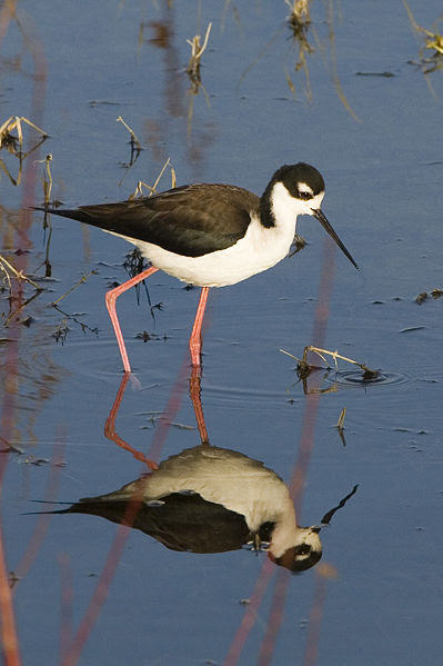 File:Black-necked-stilt-morro-creek 306.jpg