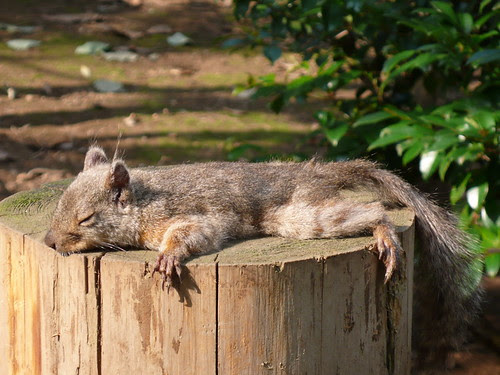 Japanese Squirrel in the heatwave