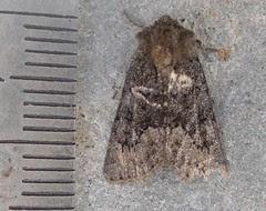 ?Tawny Marbled Minor moth