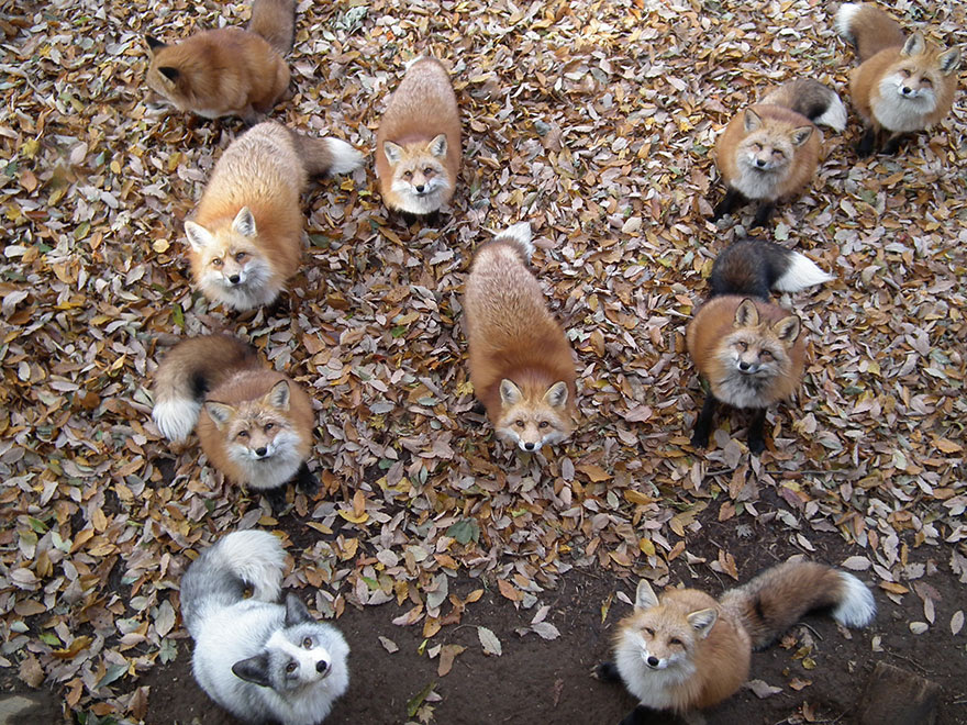 zao-fox-village-japan-34