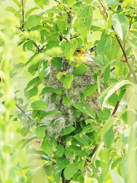 American Goldfinch on nest 20130812