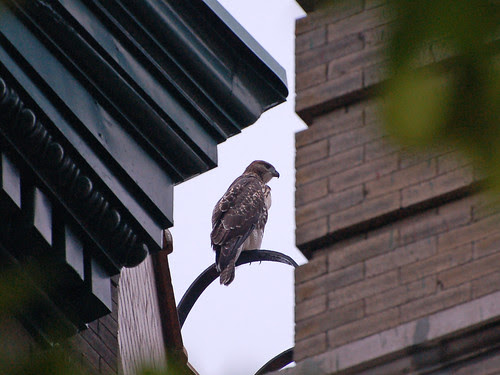 Rooftop Red-Tail Fledgling