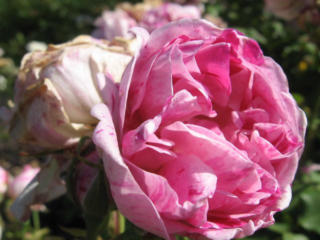 k-rose9