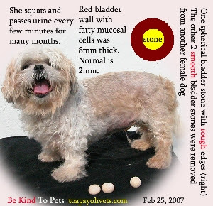 Shih Tzu squatted, cried and passed urine every few minutes. One spherical bladder stone removed 6 days ago. Toa Payoh Vets