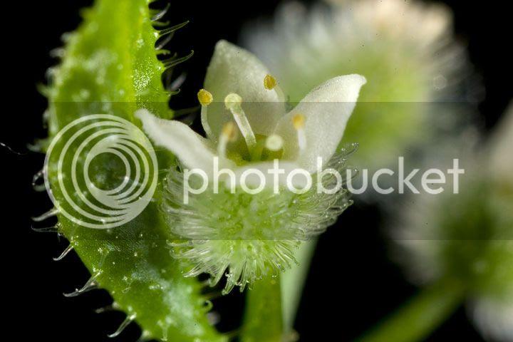 photo flor-micro_zps43fab1fc.jpg