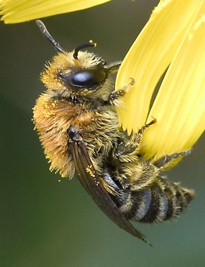 Colletes mining bee