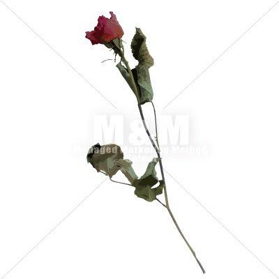 イラスト素材花 ドライフラワー バラ 12 Mm Collection