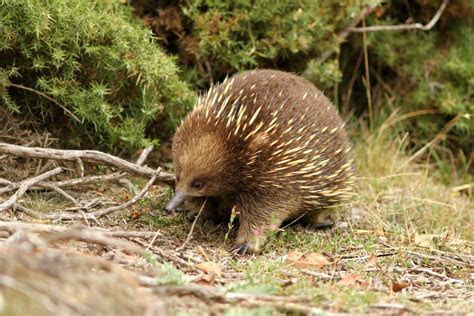 The Creature Feature: 10 Fun Facts About the Echidna   WIRED