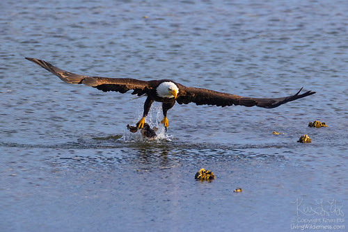 Bald Eagle Fishing in Hood Canal, Seabeck, Washington
