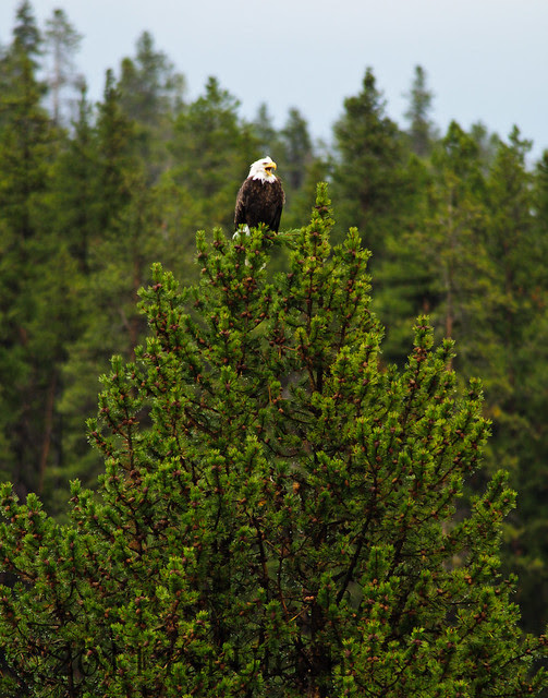 Bald eagle in Yellowstone - Pat Ulrich Wildlife Photography