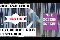 Harga Lovebird Blue Ice Terbaru Juni 2019