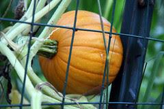 first orange pumpkin
