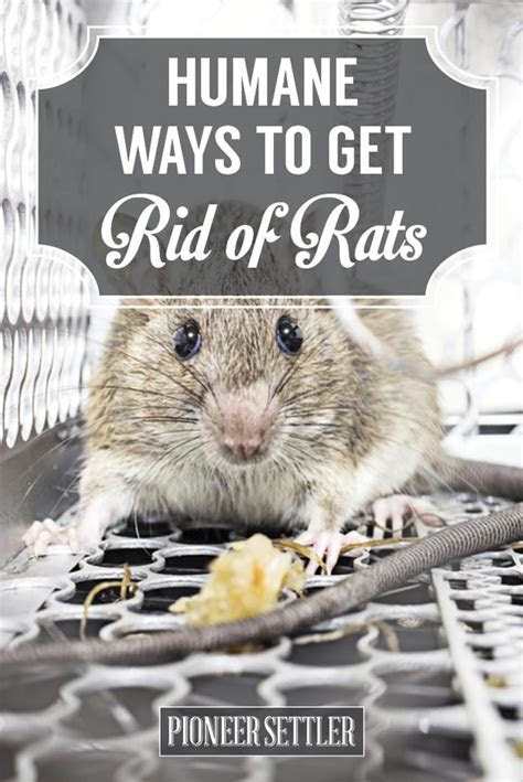 How To Get Rid of Mice In Your House Humanely   Homesteading Simple Self Sufficient Off The Grid