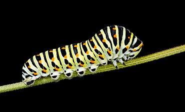Chenille de Grand porte queue (macaon).jpg