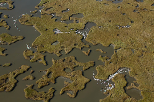 Wintering swans in bayou of Mississippi River Delta