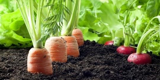 21++ Hasil samping pada tanaman wortel adalah information