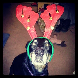 Lola's turn with the #antlers  #dogs #dobermanmix #Christmas #dogstagram #adoptdontshop #rescue #love