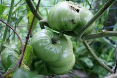 tomatoes under plastic 140