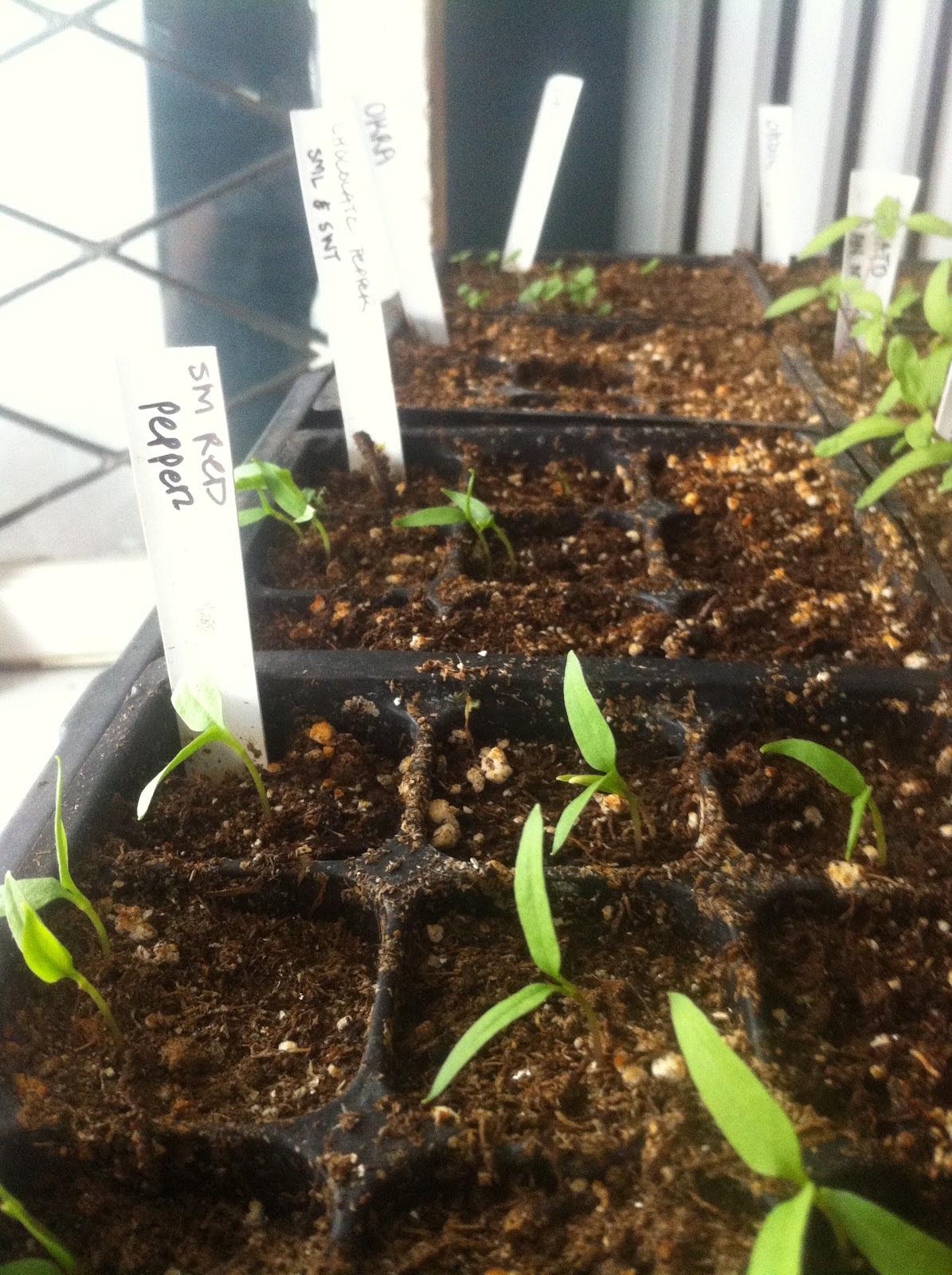 Pepper Seeds & Slow Germination - urbantomato