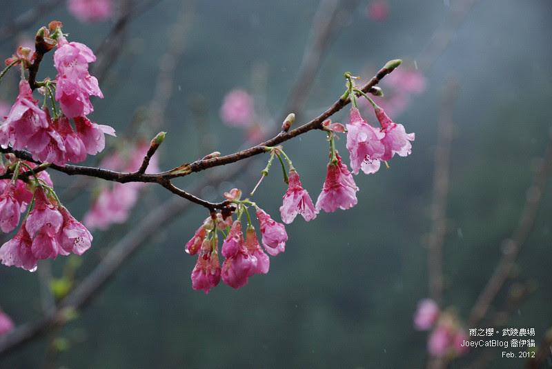 2012_0227_雨之櫻。武陵農場DSC_4326_21