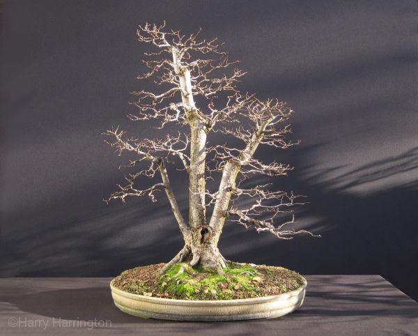 Siberian Elm Bonsai