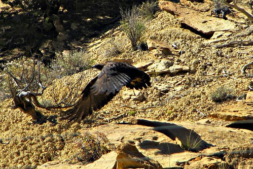 IMG_3547a_Golden_Eagle_Utah_12_from_Torrey_to_Bryce_Canyon