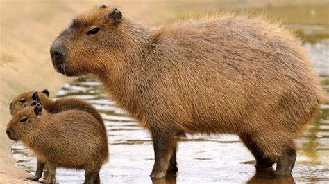 Could the World's Largest Rodent Be the Next Hot Pet?   realtor.com®