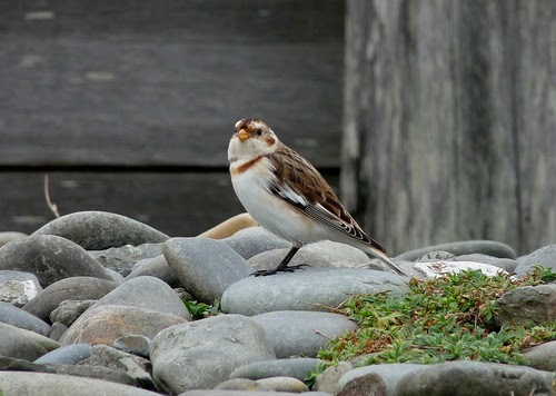 23675 - Snow Buntings, Ynyslas